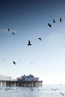 USA, California, Malibu, pelicans and seagulls float and fly in front of the Malibu Pier at Surfrider Beach 01510109768| 写真素材・ストックフォト・画像・イラスト素材|アマナイメージズ