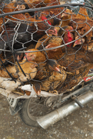 VIETNAM, Hue, chickens for sale on the back of a moped, the side of the road in rural Hue 01510110064| 写真素材・ストックフォト・画像・イラスト素材|アマナイメージズ