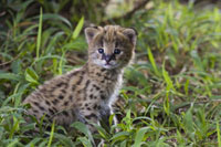 Serval (Felis serval) kitten,two and a half week old orphan 01543020298| 写真素材・ストックフォト・画像・イラスト素材|アマナイメージズ