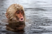 Japanese Macaque (Macaca fuscata) young in hot spring, Jigok 01543036097| 写真素材・ストックフォト・画像・イラスト素材|アマナイメージズ