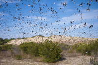 USA. Nags Head, North Carolina. 2010. Tree swallows swarm after eating wax myrtle berries at Jockey's Ridge 02265047345| 写真素材・ストックフォト・画像・イラスト素材|アマナイメージズ