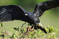 Snail Kite with Crab