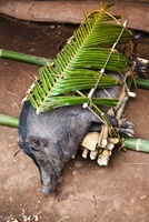 Pig Prepared for Funeral Ceremony in Waihola village, Sumba, 20025303109| 写真素材・ストックフォト・画像・イラスト素材|アマナイメージズ