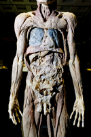 Plastinated Male Human Body Without Skin or Fat Tissue 20025311989| 写真素材・ストックフォト・画像・イラスト素材|アマナイメージズ