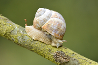 Close-up of a Snail (Helix pomatia) on Branch 20025315148| 写真素材・ストックフォト・画像・イラスト素材|アマナイメージズ