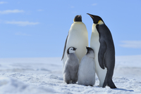 Adult Emperor Penguins (Aptenodytes forsteri) with Chicks, Snow Hill Island, Antarctic Peninsula, Antarctica 20025316784| 写真素材・ストックフォト・画像・イラスト素材|アマナイメージズ