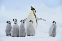 Adult Emperor Penguin (Aptenodytes forsteri) with Chicks, Snow Hill Island, Antarctic Peninsula, Antarctica 20025316797| 写真素材・ストックフォト・画像・イラスト素材|アマナイメージズ