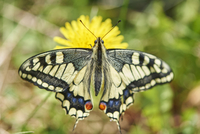 Old World Swallowtail (Papilio machaon) on Common Dandelion (Taraxacum officinale) in Meadow, Upper Palatinate, Bavaria, Germany 20025323945| 写真素材・ストックフォト・画像・イラスト素材|アマナイメージズ