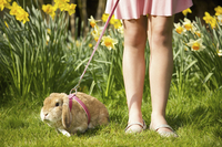 Girl legs with lop-eared rabbit on leash in a daffodil garden 20025325130| 写真素材・ストックフォト・画像・イラスト素材|アマナイメージズ