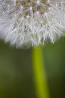 Close up of a seeding dandelion - Taraxacum seed