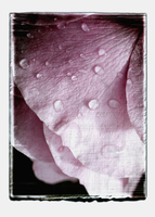 Collage of rose petals with water drops 20025328615| 写真素材・ストックフォト・画像・イラスト素材|アマナイメージズ