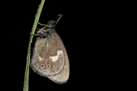 Large heath, Coenonympha tulliaon, hanging on wet blade of grass, in front of black background 20025330937| 写真素材・ストックフォト・画像・イラスト素材|アマナイメージズ