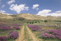 Lavender and spring flowers on the road from the Bekaa Valley to the Mount Lebanon range, Lebanon, Middle East 20025347836| 写真素材・ストックフォト・画像・イラスト素材|アマナイメージズ