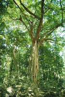 Strangular Fig Tree in rainforest, Cape Tribulation National Park, Queensland, Australia 20025348785| 写真素材・ストックフォト・画像・イラスト素材|アマナイメージズ