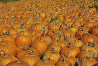 Large number of pumpkins for sale on a farm in Vermont, New England, United States of America, North America 20025349502| 写真素材・ストックフォト・画像・イラスト素材|アマナイメージズ