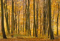 Beech trees in autumn, Queen Elizabeth Country Park, Hampshire, England, United Kingdom, Europe 20025349589| 写真素材・ストックフォト・画像・イラスト素材|アマナイメージズ