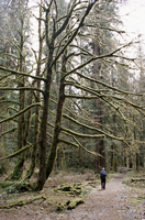 Mossy tree and hiker, Olympic National Park, UNESCO World Heritage Site, Washington State, United States of America (U.S.A.), No 20025350771| 写真素材・ストックフォト・画像・イラスト素材|アマナイメージズ