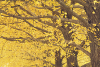 Gingko trees in autumn, Temple of Heaven Park, Beijing, China, Asia 20025351105| 写真素材・ストックフォト・画像・イラスト素材|アマナイメージズ