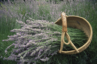 Lavender harvest, Vashon Island, Washington state, United States of America, North America 20025351129| 写真素材・ストックフォト・画像・イラスト素材|アマナイメージズ