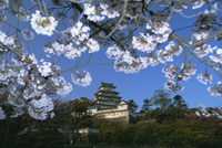 Spring blossom and Himeji Castle (Himeji-jo), built in 1580, UNESCO World Heritage Site, Himeji, west Honshu, Japan, Asia 20025352074| 写真素材・ストックフォト・画像・イラスト素材|アマナイメージズ