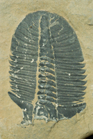 Fossils, Ogygiopsis klotzi, trilobite 50mm long, Lower Cambrian Stephen Formation, Burgess, Yoho, Canada, North America 20025353992| 写真素材・ストックフォト・画像・イラスト素材|アマナイメージズ