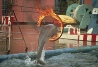 Image taken in the 1970s of a porpoise jumping through a burning ring, Marineland, California, United States of America, North A 20025355142| 写真素材・ストックフォト・画像・イラスト素材|アマナイメージズ