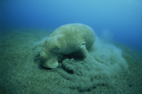 Feeding on sea grass, Endangered Dugong dugon, EPI Dugong, Vanuatu, Pacific Ocean, Pacific 20025355371| 写真素材・ストックフォト・画像・イラスト素材|アマナイメージズ
