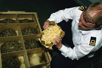 Inspector Tim Luffman inspects shipment of reptiles en route Tanzania to Japan, oversize Leopard Tortoise confiscated, Customs, 20025355393| 写真素材・ストックフォト・画像・イラスト素材|アマナイメージズ
