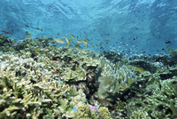 Shallow top of the reef is nursery for young fish, Sabah, Malaysia, Southeast Asia, Asia 20025355411| 写真素材・ストックフォト・画像・イラスト素材|アマナイメージズ