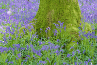 Moss covered base of a tree and bluebells in flower, Bluebell Wood, Hampshire, England, UK 20025357198| 写真素材・ストックフォト・画像・イラスト素材|アマナイメージズ