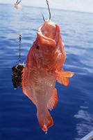 Fish hanging from hook, northeast coast, island of Praslin, Seychelles, Indian Ocean, Africa 20025358091| 写真素材・ストックフォト・画像・イラスト素材|アマナイメージズ