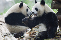 Giant panda eating bamboo at Chengdu Panda Reserve, Sichuan Province, China, Asia 20025358588| 写真素材・ストックフォト・画像・イラスト素材|アマナイメージズ