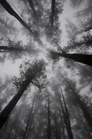Mountain Ash trees, tallest flowering plants in the world, in fog, Dandenong Ranges, Victoria, Australia, Pacific 20025359752| 写真素材・ストックフォト・画像・イラスト素材|アマナイメージズ