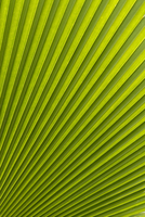Palm leaf, Botanical Gardens, Georgetown, Penang, Malaysia, Southeast Asia, Asia 20025360567| 写真素材・ストックフォト・画像・イラスト素材|アマナイメージズ