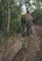 Elephant at work towing teak logs in forest, near Lebin, Shan State, Myanmar (Burma), Asia 20025360909| 写真素材・ストックフォト・画像・イラスト素材|アマナイメージズ