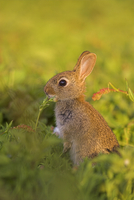Young rabbit, Oryctolagus cuniculas, Isle of May, Firth of Forth, Scotland 20025361280| 写真素材・ストックフォト・画像・イラスト素材|アマナイメージズ