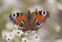 Peacock butterfly (Inachis io), resting on garden flowers, Wallington Hall garden, Northumberland, England, United Kingdom, Euro 20025361312| 写真素材・ストックフォト・画像・イラスト素材|アマナイメージズ