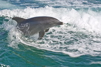 Bottlenose dolphin in the sea, The Bahamas, West Indies, Central America 20025361782| 写真素材・ストックフォト・画像・イラスト素材|アマナイメージズ