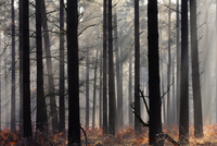 Misty autumn scene in a New Forest pine wood, New Forest, Hampshire, England, United Kingdom, Europe 20025361836| 写真素材・ストックフォト・画像・イラスト素材|アマナイメージズ