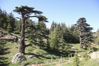 The Cedar Trees of Bcharre, Qadisha Valley, UNESCO World Heritage Site, Lebanon, Middle East 20025362004| 写真素材・ストックフォト・画像・イラスト素材|アマナイメージズ