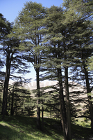 The Cedar Trees of Bcharre, Qadisha Valley (Holy Valley), UNESCO World Heritage Site, Lebanon, Middle East 20025362031| 写真素材・ストックフォト・画像・イラスト素材|アマナイメージズ