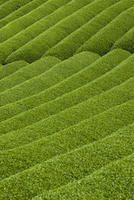 Rows of green tea bushes growing on the Makinohara tea plantations in Shizuoka, Japan 20025362119| 写真素材・ストックフォト・画像・イラスト素材|アマナイメージズ