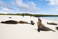 Galapagos sea lion (Zalophus wollebaeki), Gardner Bay, Isla Espanola (Hood Island), Galapagos Islands, UNESCO World Heritage Sit 20025363081| 写真素材・ストックフォト・画像・イラスト素材|アマナイメージズ