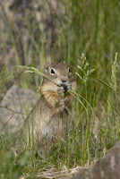 Richardson Ground Squirrel (Citellus richardsoni) eating, Camp Hale, White River National Forest, Colorado, United States of Ame 20025364014| 写真素材・ストックフォト・画像・イラスト素材|アマナイメージズ