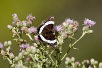 White Admiral (Basilarchia arthemis) butterfly, Waterton Lakes National Park, Alberta, Canada, North America 20025364031| 写真素材・ストックフォト・画像・イラスト素材|アマナイメージズ
