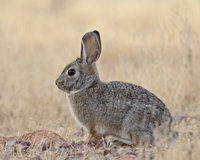 Desert cottontail (Sylvilagus audubonii), Rockhound State Park, New Mexico, United States of America, North America 20025364060| 写真素材・ストックフォト・画像・イラスト素材|アマナイメージズ