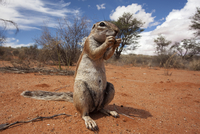 Ground squirrel (Xerus inauris), Kgalagadi Transfrontier Park, Northern Cape, South Africa, Africa 20025365668| 写真素材・ストックフォト・画像・イラスト素材|アマナイメージズ