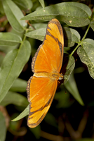 Julia butterfly (Dryas iulia) in captivity, Butterfly World and Gardens, Coombs, British Columbia, Canada, North America 20025365828| 写真素材・ストックフォト・画像・イラスト素材|アマナイメージズ
