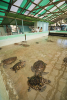 Old Hegg Turtle Sanctuary, Bequia, St. Vincent and The Grenadines, Windward Islands, West Indies, Caribbean, Central America 20025366192| 写真素材・ストックフォト・画像・イラスト素材|アマナイメージズ
