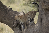 Leopard (Panthera pardus) descending from a tree, Serengeti National Park, Tanzania, East Africa, Africa 20025368596| 写真素材・ストックフォト・画像・イラスト素材|アマナイメージズ